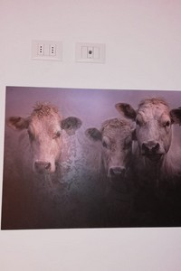 Quadro mucche portrait
