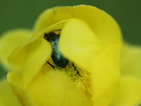 Insetto nel fiore giallo