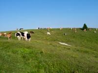 Kühe weiden in Malga Camporossignolo