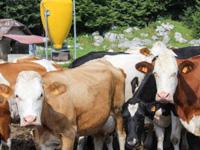 Kühe der Malga Camporossignolo