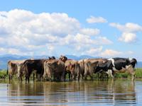 Kühe trinken im Pool