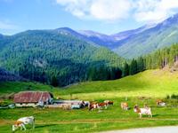 Kühe weiden und Landschaft in Malga Pusterle
