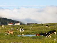 mucche al pascolo sull altopiano