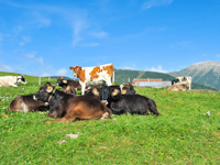 Cows grazing at the MalgaDosso di Sotto