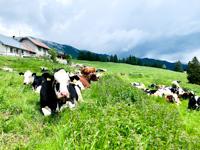 Malga Larici's cows at rest