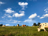 Cows grazing at the Larici Malga in Sotto