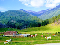 Cows grazing and landscape in Malga Pusterle