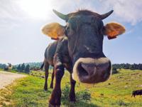 Cute cow grazing in Malga Serona