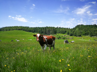 Cows grazing in Malga Verde on the Asiago Plateau
