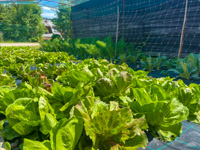Organic garden of the Villa Ciardi Restaurant