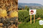Wandern mit Geschmack: Tresché Conca Kartoffeln