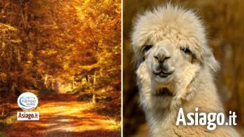 24 10 2021 alpaca asiago guide