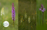 Emotionen in freier Wildbahn: die Orchideen des Berges Zebio - Sonntag 28 Juni 2020