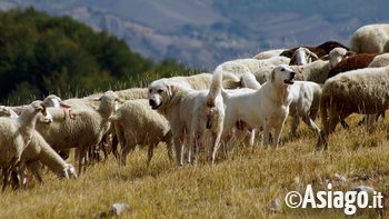 cani pastore