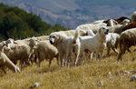 Una storia millenaria: i pastori e i loro cani - Venerdì 24 Agosto 2018