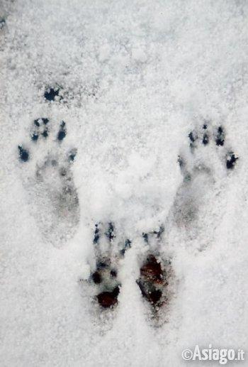 impronte inverno scoiattolo
