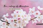 Unter Kirsche von Marostica-Sonntag, 28. April 2019