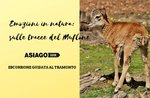 Emotionen in der Natur: auf den Spuren der Mufflon-Freitag 26 April 2019