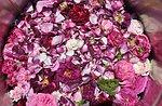 Die Entdeckung der alten Rosen mit Antonio Caley, Asiago Hochebene