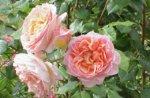 Visita guidata al roseto delle rose antiche, con Antonio e Lisa Cantele, Asiago