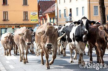 Mucca in Altopiano