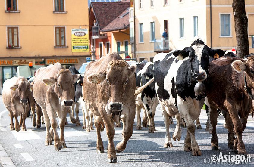 Transumanza 2017 passaggio delle mucche in centro ad for Baite ad asiago
