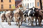 """Durchgang von der """"Transhumanz"""" in der Altstadt bei Asiago, 25. September 2015"""