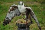 """""""Der Falkner: der Engel der Birds Of Prey""""-Aktivitäten organisiert durch das Museo Naturalistico di Asiago-5 August 2018"""