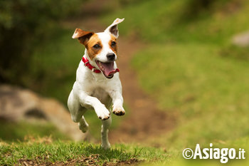 Jack Russell che corre