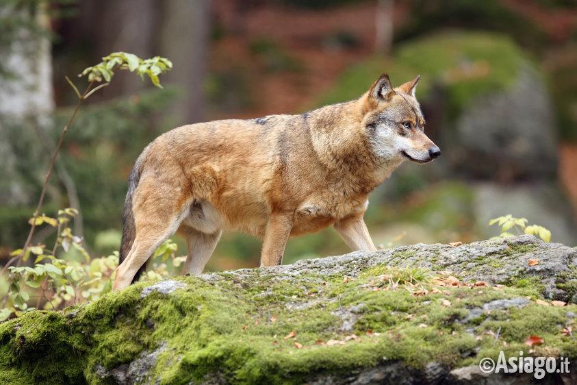 Il lupo la lince e l 39 orso nelle alpi centro orientali for Alberghi centro asiago