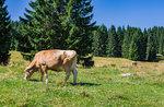 """""""Jeder bei alpine Milchkühe, Milch und Käse""""-Workshop Gewerke in Asiago-August 26, 2017"""