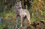 """Laboratorio in natura """"Una foto con il lupo"""" a cura del Museo Naturalistico di Asiago - 10 agosto 2017"""