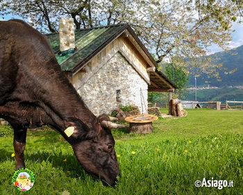 mucca al cason delle meraviglie
