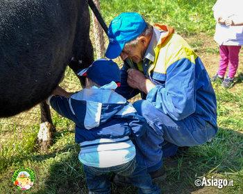 mungitura mucca a il cason delle meraviglie n2