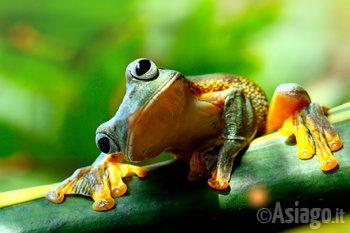 una rana mangiona n1