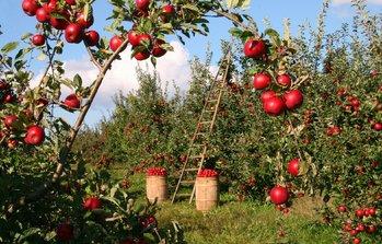 frutteto di mele