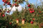 Besuch des alten Äpfel Obstgarten und Garten von aromatischen Kräutern mit Antonio und Lisa Calhoun-20 August 2018