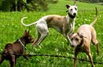 Schäferhund: Hund arbeiten Demonstration mit den Schafen zu den 10 August Enego