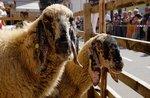 Zurück von der Partei des Schafes Foza-27 August 2017