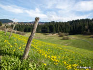 Meadow dandelion flowers out of Asiago