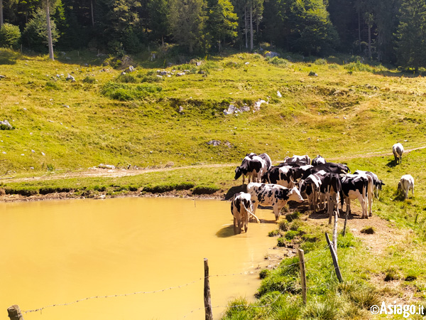 Cows At the Pool of Alpine by Malga Carriola