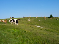 Mucche al pascolo a Malga Camporossignolo