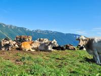 Mucche nei pascoli della Malga Dosso di Sotto