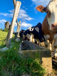 Le mucche di Malga Larici di Sotto all'abbeveratoio