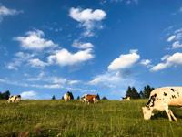 Mucche al pascolo alla Malga Larici di Sotto