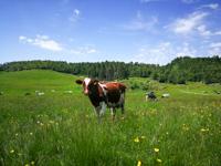 Mucche al pascolo a Malga Verde sull'Altopiano di Asiago
