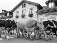 Vacche da latte in passaggio davanti al Caseificio Pennar